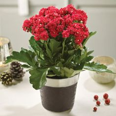 Kalanchoe is remarkably easy to look after and produces a mass of flowers and attractive succulent foliage over a long period. This popular houseplant comes in a range of flower colours but for Christmas, it has to be festive red