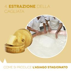 Aged PDO Asiago: how it is made. Extracting the curd.
