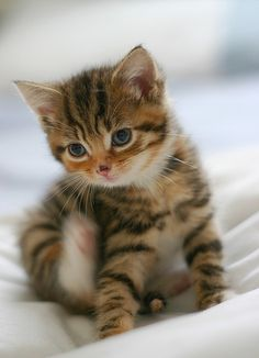 cute baby kitty #felines #cats #kittens #pets #companions #animals