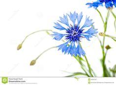 primo-piano-del-fiore-del-fiordaliso-42667921.jpg (1300×954)