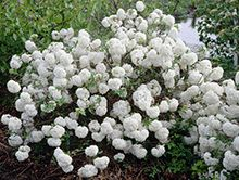 The Original Snowball Bush  -  An amazingly 'SHOWY' addition to any landscape; the Viburnum Macrocephalum, more commonly known as the 'Chinese Snowball Bush', is beautiful and easy-to-grow. The flowers emerge a striking lime-green in late spring and gradually turn to snowy-white in mid-May;...