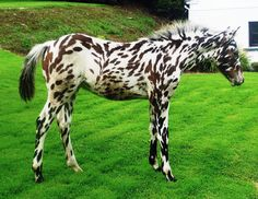 Leopard Appaloosa horse.