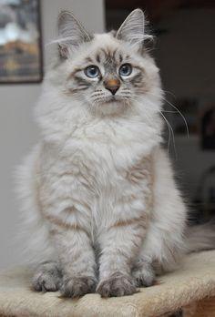 Neva Masquerade, Siberian Cat