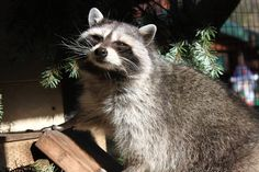 Mammal Monday is here! #DidYouKnow, Raccoons are one of the most flexible species known to man? They are dexterous, intelligent and adaptable to a wide variety of environments. 'Ruby' is one of our resident animal ambassadors—she came to us as a very small, malnourished kit and had to be hand-raised. True to her raccoon heritage, she is a very curious and clever girl, frequently the first resident to pry her enrichment box open at feeding time. #MammalMonday #WildlifeImages
