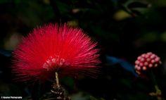 Rain Tree flower - Ajaytao