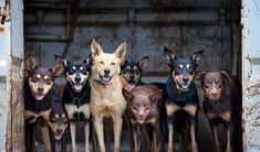 Gallery: A tribute to Aussie working dogs - Australian Geographic Australian Cattle Dog, Australian Farm, Australian Birds, Australian Shepherds, Aussie Dogs, Different Dogs, Dog Life, Farm Life, Working Dogs