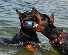Water sports!! Mans Best Friend, Best Friends, Doberman Shepherd, Blue Great Danes, Doberman Love, Doberman Pinscher, Working Dogs, Australian Shepherd, Big Dogs