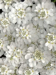 Candytuft - perennial white flower for spring. Full sun.