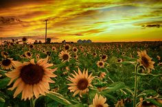 Sunflower Sunset by Joe Goble on Capture Arkansas // Last night on my way home from a business trip to Eastern Arkansas I spotted this small field of sunflowers just as the sun was setting. It was beautiful so I pulled off on the shoulder and took some photos.