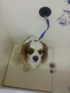Patch the Cavalier ready for his Hydrobath!