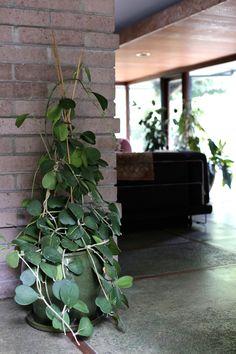 Botanical Inspiration: Hoya Kerri — COCOON HOME