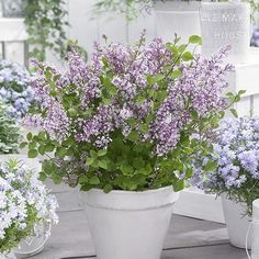 Buy repeat flowering lilac Syringa meyeri 'Flowerfesta Purple (PBR)': Delivery by Crocus Hydrangea Macrophylla, Delphinium, Planting Shrubs, Garden Shrubs, Flowering Shrubs, Yucca Filamentosa, Purple Shrubs, Lilac Bushes, Clematis