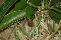 3mm Tree frog