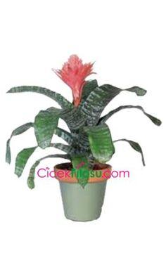 Açmia Çiçeği Bakımı, Yetiştirilmesi, budanması, sulanması, toprak, vitamin, ışık, ve rüzgar faktörlerine karşı direnci.