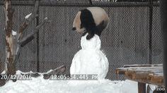 01-funny-gif-280-panda-snow.gif (256×144)