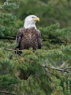 Bald Eagle (haliaeetus leucocephalus). Photo  by punkbirdr on Flickr. Sacred to some Native American cultures, the Bald Eagle is both the national bird and national animal of the United States of America.