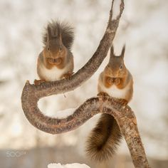 eye watch - red squirrels on tree trunk with snow