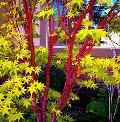 Acer palmatum 'Sango-kaku' Common name: Coral bark Japanese maple Maple Tree Bark, Coral Bark Maple, Garden Shrubs, Garden Trees, Garden Bark, Garden Pots, Jardin Feng Shui, Japanese Garden Design, Japanese Maple Garden