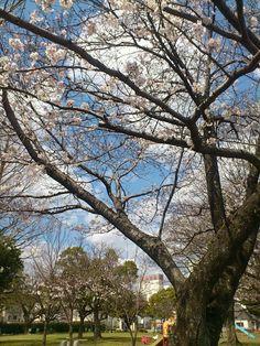 2014桜 cherry blossoms
