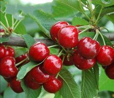 Pick Your Own Cherries at Old Coralinga Cherry Seeds, Fruit Seeds, Acerola, Bing Cherries, Beautiful Fruits, Growing Grapes, Black Eyed Susan, Exotic Fruit, Prunus