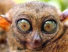 Fun Fact!    Your eyes stay the same size from birth, but your nose and ears never stop growing.    BTW..this is a Tarsier. They are found only in the islands of Southeast Asia- Tarsier species are now endangered