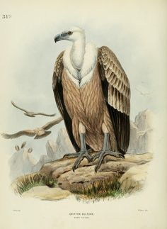 c 1.v.5 - A history of the birds of Europe : - Biodiversity Heritage Library