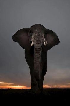 Elephant - what a beautiful animal ♡
