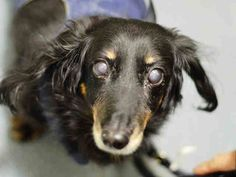 SUPER URGENT 11/21/14 Brooklyn Center   RALPH - A1021315   MALE, BLACK / BROWN, DACHSHUND LH MIX, 8 yrs STRAY - STRAY WAIT, NO HOLD Reason STRAY  Intake condition EXAM REQ Intake Date 11/21/2014, From NY 11208, DueOut Date 11/24/2014,  https://www.facebook.com/Urgentdeathrowdogs/photos/a.617942388218644.1073741870.152876678058553/909244569088423/?type=3&theater