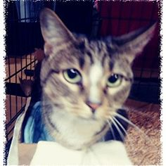 Trevose, Pennsylvania - Domestic Shorthair. Meet Nola, a for adoption. https://www.adoptapet.com/pet/20622053-trevose-pennsylvania-cat