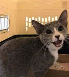 CUTE 8 MONTH OLD ABANDONED AT SHELTER - FRIENDLY AND AFFECTIONATE - WAS DIFFICULT TO EXAMINE DUE TO CAT WANTING ATTENTION!