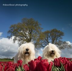 tulip girls - old English sheepdogs Sophie and Sarah