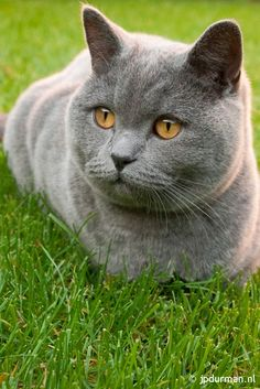 "British Shorthair. The ""Cheshire Cat"" from ""Alice in Wonderland"" is modelled on this"