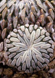 Pellecyphora aselliformis