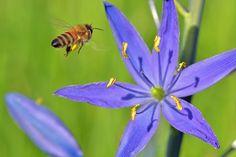 Fájl: mézelő méh Camas 4.jpg