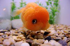 20 Types of Goldfish for Aquarium (Oranda, Shubunkin, Bubble Eye, Etc) Pretty Fish, Cool Fish, Beautiful Fish, Animals Beautiful, Lionhead Goldfish, Oranda Goldfish, Goldfish Types, Goldfish Tank, Exotic Fish
