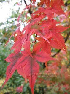 ARTICLE: Fall Colors Japanese Maple Tree #autumn #season #red #fall Original article at http://www.gardenersland.com/2007/10/fall-colors-japanese-maple-tree-part.html
