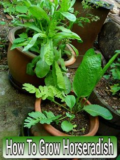 How To Grow Horseradish - in containers from grocery store roots... #gardening #containergardening #homesteading Horseradish Plant, Growing Horseradish, Horseradish Recipes, Container Flowers, Container Plants, Container Gardening, Growing Herbs, Growing Vegetables, Gardening For Beginners