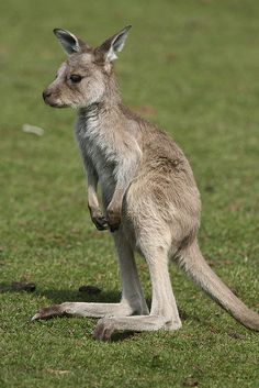 Baby Kangaroo by Simon Pamment Photography, via Flickr