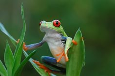 Costa Rican Red-Eyed Tree Frog