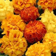 Marigold Zenith Mix. large, Fully double solid and bicolor flowers in wide range of colors. Annual flower seeds.