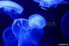 jelly fish in blue aquarium – kaufen Sie dieses Foto und finden Sie ähnliche Bilder auf Adobe Stock | Adobe Stock Fisher, Jellyfish, Photography, Blue, Image, Pictures, Medusa, Photograph, Fotografie