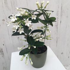 Stephanotis floribunda- jasmin de madagascar