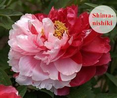 Shimanishiki is rose form or lotus form. 1 plant can produce several different tinctorial flowers. florescence is at the end of April.   www.china-plants.com Gansu Zhongchuan Peony Nursery