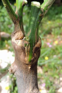Grafting New Growth on    Old Growth Root Stock  Fruit Trees  Video of How To