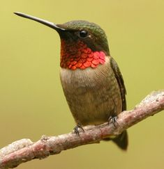 Ruby throated hummingbird. The male is the most colorful. The males weigh about the weight of two paperclips