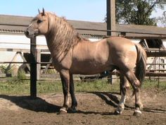 Byelorussian Harness Horse stallion Lisenok Originated in Norway, light breed features charactertics of draft horse, developed for agricultural purposes, and riding ,mild temerament, easy to manage, submissive colors bay, chestnut, dun