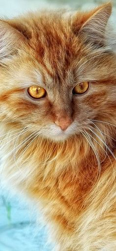 Ginger beauty with Golden eyes...