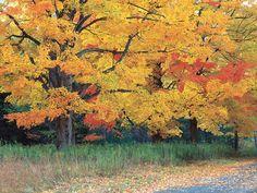 Fall Foliage, Sugar Maple Tree Garden Design Calimesa, CA