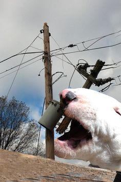 """Bully eats electric pole cause he can-News at Bull Terrier Funny, Mini Bull Terriers, Miniature Bull Terrier, English Bull Terriers, Best Dog Breeds, Best Dogs, Black Lab Puppies, Corgi Puppies, Animal Photography"