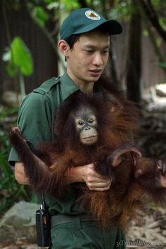 Meeting Orangutans in #Borneo http://www.ytravelblog.com/orangutan-sanctuary-borneo/ #Malaysia